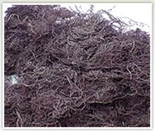 Gracilaria Seaweed for Agar Industry