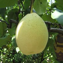 fresh pears from Brazil for sale