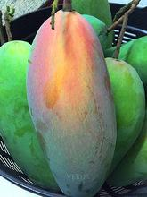 FRESH MANGO GOOD QUALITY COMPETITIVE PRICE