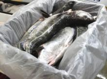 FROZEN SALMON FISHFOR SALE
