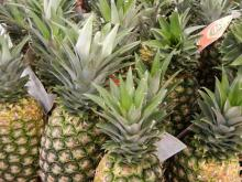 PREMIUM QUALITY PINEAPPLE FRUITS
