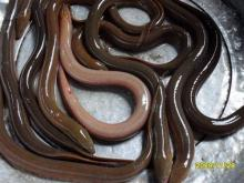 live Swamp Eel