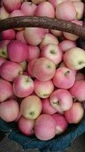 Grade A red Fiji apple for sell