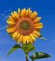 Grade A Sunflower Oil,