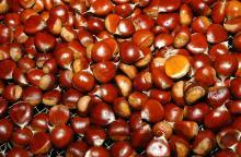Wholesale sweet fresh chestnut