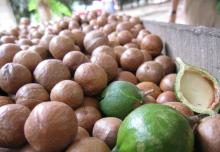 Macadamia Nut in Shell