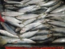 Frozen Seafood Sardines