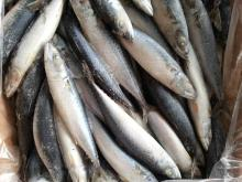 pacific mackerel 150-200g
