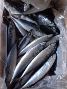 FreshWhole Frozen Pacific Mackerel