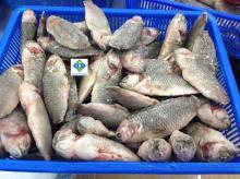 FROZEN FRESHWATER FISH
