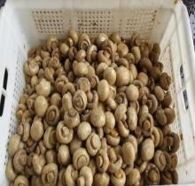 fresh button mushroom wholesale champignon mushroom prices greenhouses for mushroom