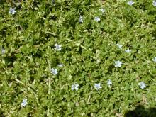 Bacopa Water Soluble