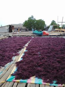 Dried RED / PURPLE Eucheuma Cottonii Seaweed