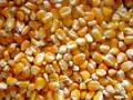 Buy Top Quality Yellow / Red / White Maize Corn