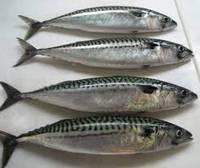 Frozen Makerel Ribbon Frozen Salmon Frozen Tilapia Fish Wild Catch