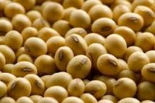 High protein yield Soya bean