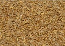 Quality Durum Wheat