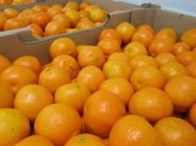 Fresh Naval Oranges