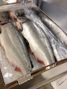 WHOLE FROZEN SALMON FISH