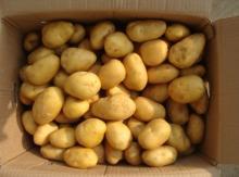 potato from laiwu wanxin