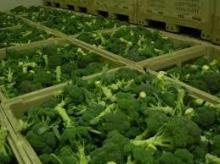 High quality organic Broccoli