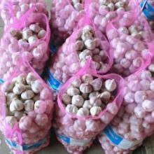 Fresh Garlic White/Purple