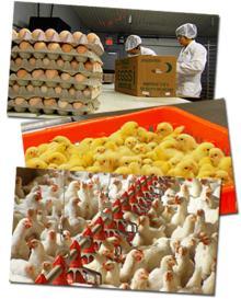 BROILER CHICKEN EGGS /COBB 500 BROILER HATCHING EGGS
