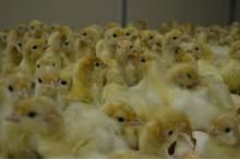 DAY OLD TURKEY POULTS FOR SALE