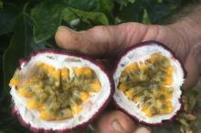 COMPETITIVE PRICE_FRESH PASSION FRUIT _HIGH QUALITY