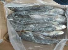 frozen grey mullet fish whole round