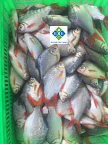 Замороженная красная рыба пути (Речной бард)