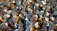 Dried verpa bohemica
