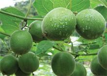 Fresh monk fruit monk fruit powder organic monk fruit sweetener