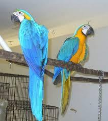 Blue and Gold Macaws parrots and Eggs