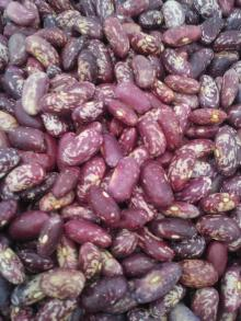 PURPLE SPECKLED KIDNEY BEANS HPS