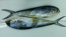 Mahi Mahi Fish