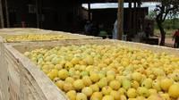 Fresh Marula Fruits for Sale