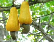 Raw cashew nuts available for sale