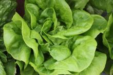 Hydroponic Butterhead/Boston Lettuce