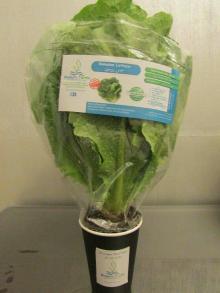 Hydroponic living Romaine Lettuce