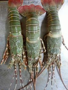 Spiny Green Lobster products,United States Spiny Green Lobster supplier