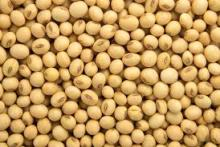 Non gmo yellow soybean for export