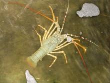 Live Bambo Lobster