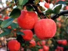 fresh  green   gala   apple  and Red fuji  apple  seller