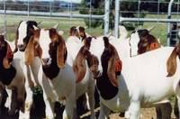 Live Boer Goats, Goats