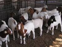 Full Blood Boer Goats,Live Sheep, Cattle, Lambs