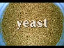 Yeast - LOW & HIGH SUGAR