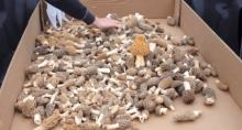 Fine quality grown dried Morel Mushroom
