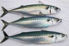 400-600g Sea Frozen atlantic Mackerel