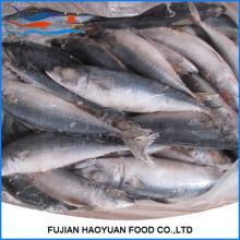 Scomber  Scombrus  Pacific Mackerel